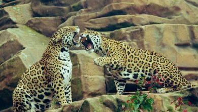 Photo of Pantery, pumy czy tygrysy to nie maskotki! Dzikie koty to nie są zwierzęta domowe