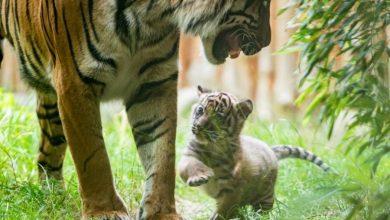 Photo of Wrocław. W ZOO urodził się tygrys sumatrzański. To najrzadszy gatunek dzikich kotów na świecie! [ZDJĘCIA][WIDEO]