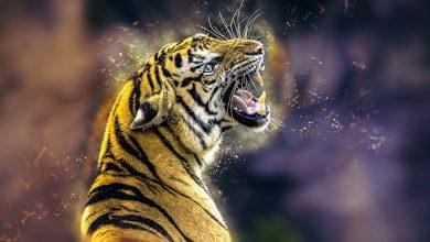 Photo of Dzień Tygrysa. Liczba dzikich kotów żyjących na wolności spadła o ponad 95%