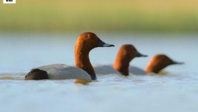 Photo of Głowienki zagrożone! Wciąż strzela się do tych kaczek! Czernica, cyraneczka i łyska na liście gatunków zwierząt łownych