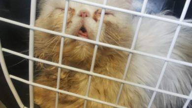 """Photo of Uratowano 50 kotów perskich. """"Hodowca"""" był poszukiwany listem gończym"""