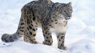 Photo of Międzynarodowy Dzień Pantery Śnieżnej. Andrzej Bargiel o Duchu Gór i zmianie klimatu