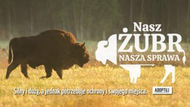 Photo of Żubry w Polsce potrzebują naszej pomocy. Presja na odstrzał redukcyjny