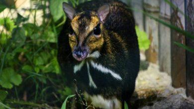 Photo of Sensacja we wrocławskim zoo! Na świat przyszedł kanczyl filipiński. Nagrano poród czworonożnego draculi [WIDEO]