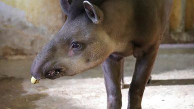 Photo of Łódzkie ZOO. Tapir Sven obchodzi swoje 19. urodziny [WIDEO]