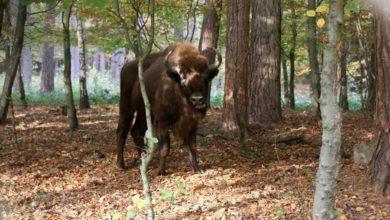 Photo of Żubry z gdańskiego zoo ruszyły w świat. Trzy samice wiosną urodzą nowe osobniki