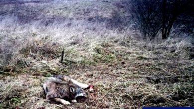 Photo of Dzielnicowi z Orzysza uratowali… wilka. Był uwięziony we wnykach