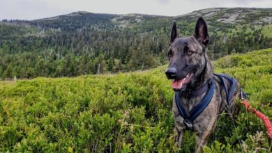 Photo of Karkonoski GOPR. Poszukiwania zaginionego psa ratowniczego trwają. Czy Czort został uprowadzony?