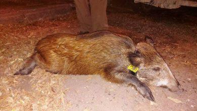 Photo of Przygody stołecznych zwierząt. Zmęczona pustułka, wyprawa dzika i ogłuszona sowa