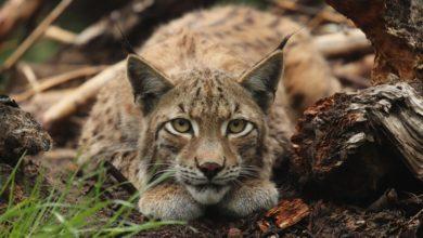 Photo of Rysie w polskich lasach. Ile kotów wypuszczono w 2020 roku? Tajemnicza historia Cezara