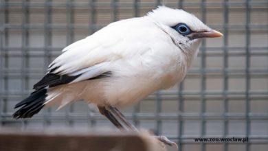 Photo of Szpak balijski. We wrocławskim zoo wykluły się jedne z najrzadszych ptaków na Ziemi