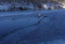 Photo of Strażacy pomogli łabędzicy. Miała przymarznięte skrzydło do lodu