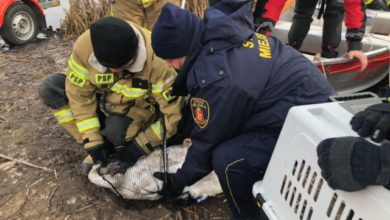 Photo of Uratowano łabędzia. Miał haczyk wbity w dziób i był oplątany żyłką
