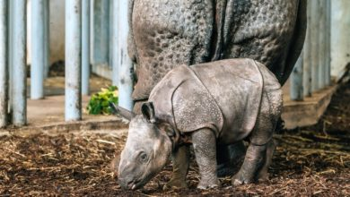 """Photo of Zoo Wrocław. Znamy imię małego nosorożca. """"Promyk słońca"""" bryka [WIDEO]"""