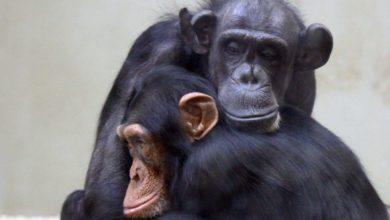 Photo of ZOO Gdańsk. Nie żyje Kasia, najstarsza szympansica w stadzie