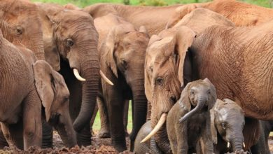 Photo of Wszystkie słonie na świecie są zagrożone wyginięciem! Popyt na kość słoniową