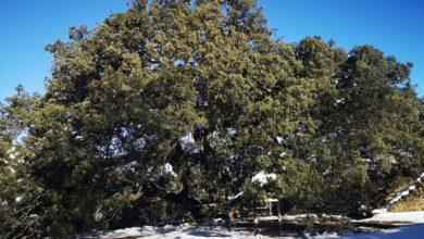 Photo of Tysiącletni dąb ostrolistny z Hiszpanii Europejskim Drzewem Roku 2021