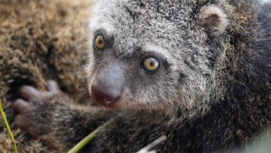 Photo of Wrocławskie Zoo – urodził się kuskus niedźwiedzi. Najbardziej zagrożony wyginięciem gatunek zwierząt na Ziemi