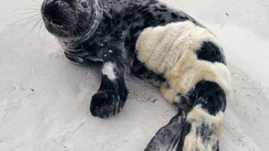 Photo of Pierwsze foki pojawiły się nad Bałtykiem. Pamiętaj! To my jesteśmy gośćmi w ich środowisku