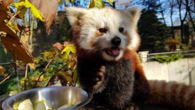 Photo of Łódzkie ZOO. Panda ruda to zoologiczna zagadka! Kotoniedźwiedź zagrożony wyginięciem