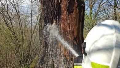 """Photo of Podpalono """"Dąb Miłość"""" z lubelskich lasów. Strażacy uratowali 400-letni pomnik przyrody"""