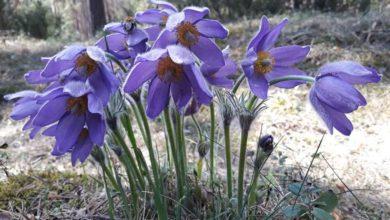 Photo of Kradzież sasanki z Biebrzańskiego Parku Narodowego. Zostań strażnikiem tej wyjątkowej rośliny!