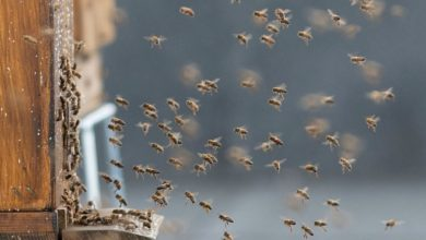 Photo of Światowy Dzień Pszczół. Troszczmy się o te pożyteczne owady żyjące w miejskim ekosystemie