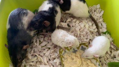 Photo of Zwierzęta to nie zabawka! Domowe szczury wyrzucono do pojemnika Caritasu