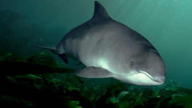 Photo of Dzień Bałtyckiego Morświna. Populacja tego ssaka jest krytycznie zagrożona wyginięciem!