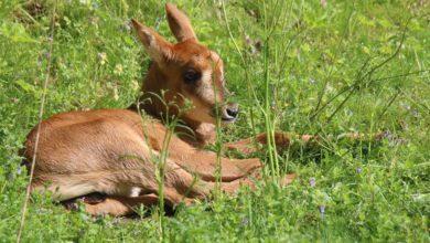 """Photo of Pierwsze narodziny antylopowca szablorogiego w gdańskim ZOO. """"To ciekawy gatunek"""""""