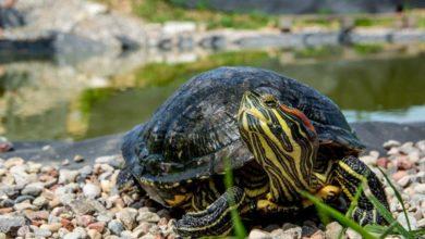 Photo of Odłowy żółwi we Wrocławiu. Inwazyjne gatunki zagrożeniem dla przyrody